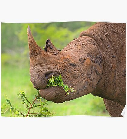 Black rhino - Imfolozi, South Africa Poster