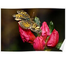 American Painted Lady Butterfly Poster