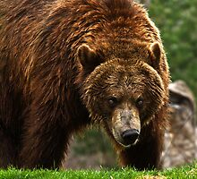 Backwoods Grizzly by Tim Denny