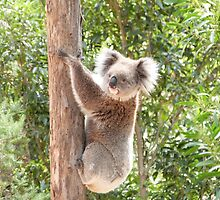 'FLUFFY EARS!' The wary Koala.  by Rita Blom