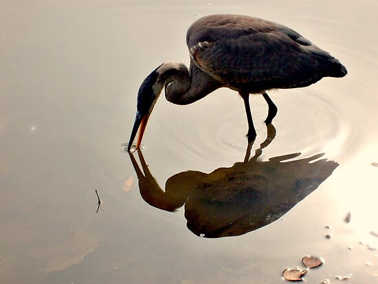 Great Blue Heron at Grover Cleveland Park, Essex Fells NJ - reflections1 by Jane Neill-Hancock