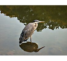 Great Blue Heron at Grover Cleveland Park, Essex Fells NJ - reflections2 Photographic Print