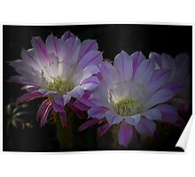Night Blooming Cactus Flowers Poster