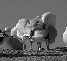 seagulls. bicheno, tasmania by tim buckley | bodhiimages