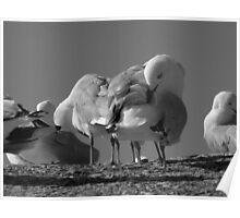 seagulls. bicheno, tasmania Poster