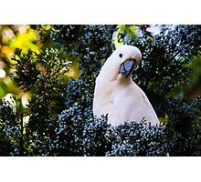 Cockatoo Photographic Print