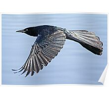 Grackle On The Move Poster