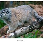 Pallas Cat by Sue Arber