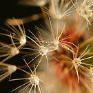 Dandelion drops  by Michael Matthews