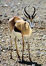 Springbok by Carole-Anne