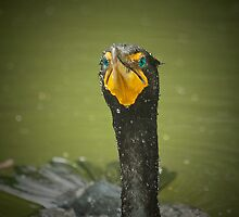 Cormorant - Eyes of Jade by imagetj