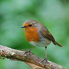 Robin  by Declan Carr