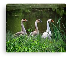 Three Geese Canvas Print