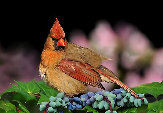 Female Cardinal On A Mahonia Bealie Plant by Kathy Baccari