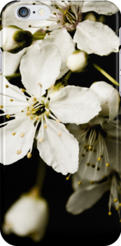 Apple Blossom by Woolfe