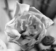 White Dianthus by SunDwn
