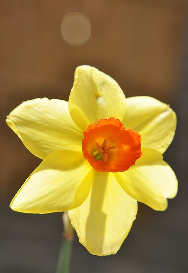Daffodil  by rhian mountjoy