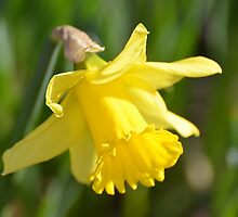 Simple Yellow Daffodil... by Carol Clifford