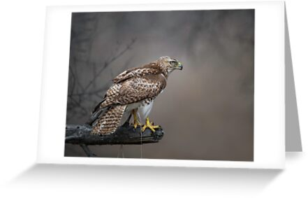 Hawk Encounter  by Daniel  Parent