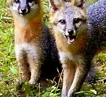 Two Adorable Young Foxes by Sandra Russell