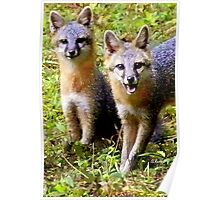 Two Adorable Young Foxes Poster