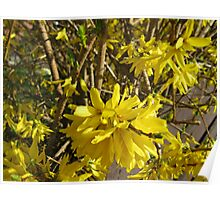 Golden Forsythia Flower Poster