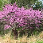 Red Bud Tree by lorilee