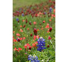 Bluebonnets, Red Clover And Indian Paintbrush Photographic Print