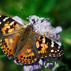 A Painted Lady  by Saija  Lehtonen