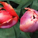 Dynamic Duo - Pretty Tulip Pair by MidnightMelody