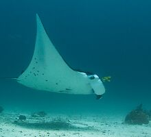 Manta And Golden Trevally by Todd Krebs