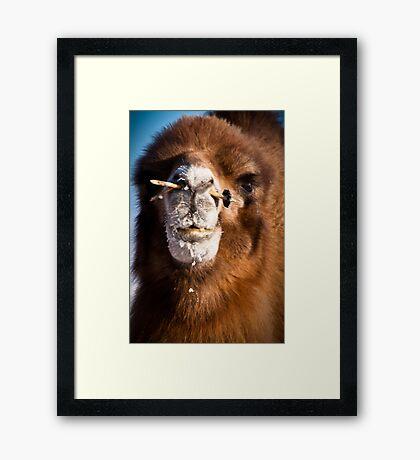 Bactrial camel Framed Print