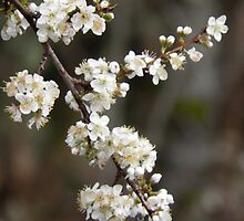 Plum Blossom by Jamie Peterson