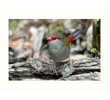 Red-browed Finch Art Print
