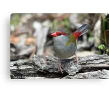 Red-browed Finch Canvas Print