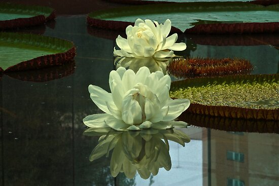 Twin Amazon Waterlily by Ferenghi