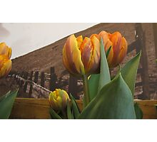 Grocery Store Tulip Photographic Print