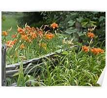 Day Lilies along split rail fence Poster