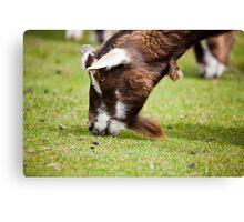 Goat Canvas Print