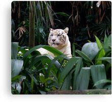Asian White Tiger Canvas Print