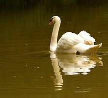 Swan Reflection by Jessica Annalee