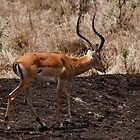 Thompson Gazelle by Karue