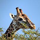 Giraffa camelopardalis by Ann  Palframan