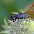 The Humble Fly by Linda Cutche
