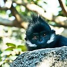 Young Leaf Monkey by Antoine de Paauw