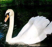 A beautiful Swan  by HopefulHarrie