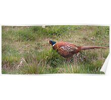Pheasant #2 Poster