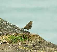 Rock Pipit by VoluntaryRanger