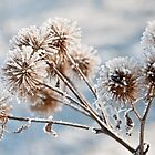 "A Frosty Morning ""Thistle Head"" by rexhank"
