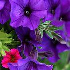 Petunias by Kelly Cavanaugh